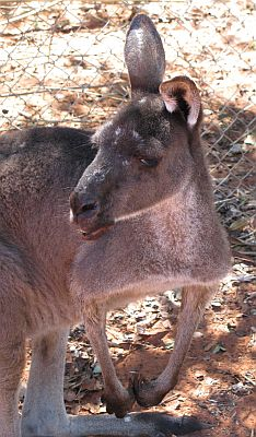 A typical moronic marsupial